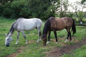 Reverie und Rusty - Pferde beim Grasen - naprimo.de
